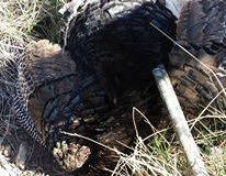 Richard Hagerty shot this turkey with a 7 inch beard this morning in the Manzano Mountains. Congrats Richard! Looks like the turkeys are doing great in the Manzano Mountains.