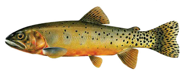 magazine-spring-2016-vol50num1-bad-weather-stewart-lake-cutthroat-fish-illustration
