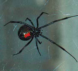 The black widow possesses a potent venom. Those experiencing an adverse reaction should consult a medical professional. New Mexico Wildlife magazine, NMDGF
