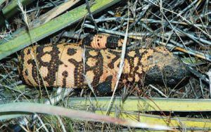 ites from a state-endangered Gila monster are very rare. Leave them alone and they leave you alone. New Mexico Wildlife magazine, NMDGF
