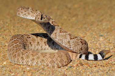 Rattlesnakes pose a most significant threat to humans in New Mexico and anyone bitten should immediately seek medical attention. New Mexico Wildlife magazine, NMDGF