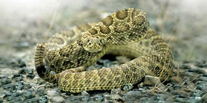 Prairie rattlesnake. So, your basic working knowledge of a rattlesnake is: They bite, they're venomous, and poking them with a finger is a really, really bad idea. But there's a lot more to these fascinating reptiles. New Mexico Wildlife magazine, NMDGF