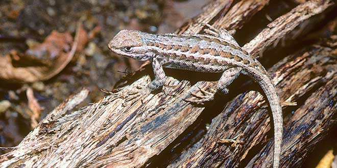 Found in a good portion of the western states, the common sagebrush lizard will feed on a variety of insects and spiders. These lizards are easily frightened and will quickly flee. Photo by Charlie Painter, New Mexico Wildlife magazine, NMDGF.