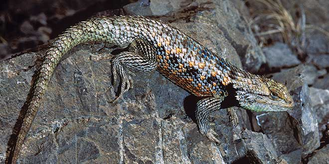 The twin-spotted spiny lizard can be found primarily in the southeastern portion of New Mexico. For those interested in finding one of these lizards, don't just look, but listen; they often can be heard scratching at tree bark. Photo by Charlie Painter, New Mexico Wildlife magazine, NMDGF.