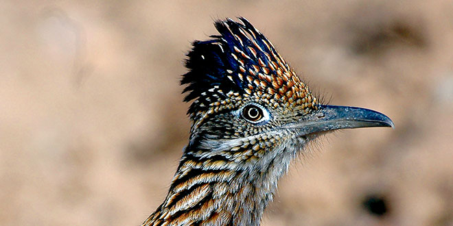 Greater roadrunners is a stealthy and efficient predator, feasting on reptiles during warmer months but also taking snakes, including rattlers, and small mammals. Most of the water a roadrunner requires is obtained from their prey. Photo by Dan Williams, New Mexico Wildlife magazine, NMDGF.