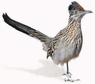 Greater roadrunner is a distinctive bird, given their long-legged, long-tailed shape, crested head, and heavy bill. Photo by Dan Williams, New Mexico Wildlife magazine, NMDGF.