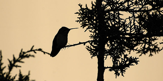 A silhouetted hummingbird. Photo by Dan Williams, New Mexico Wildlife magazine, NMDGF.