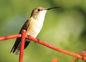 Hummingbird. NMDGF photo by Martin Perea, New Mexico Wildlife magazine.