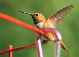 A rufous hummingbird perches on a backyard feeder. Photo by Martin Perea, New Mexico Wildlife magazine, NMDGF.