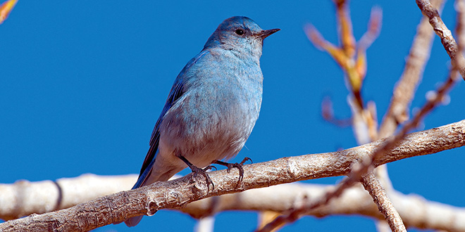 Telephoto lens and a tripod can help a photographer get sharp close-up imges of small birds such as this mountain bluebird. New Mexico Department of Game and Fish photo by Dan Williams, New Mexico Wildlife magazine.