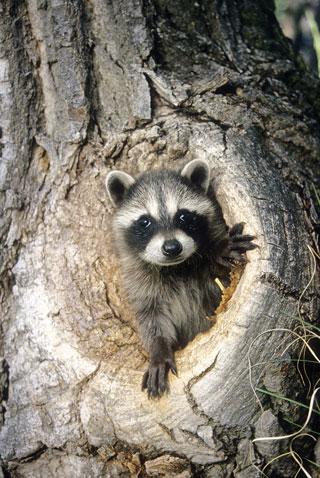 Photographing  wildlife, raccoon, New Mexico Wildlife magazine, NMDGF.