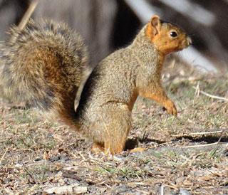 Fox squirrel. Photo Zen Mocarski, New Mexico Wildlife magazine, NMDGF.