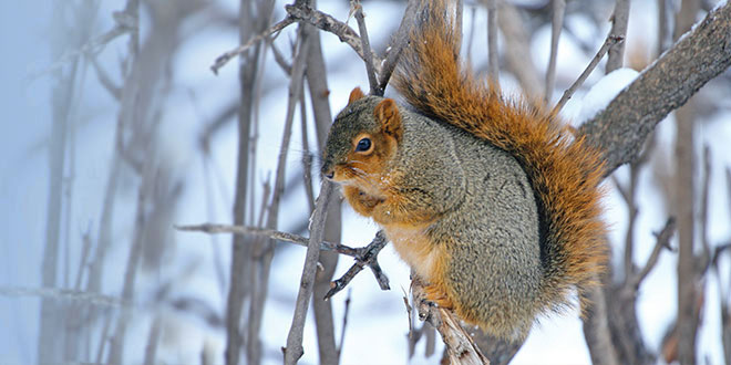 A fox squirrel balancing on a small tree branch. Fox squirrels are larger and heavier than gray squirrels. USFWS photo by Gary Eslinger. New Mexico Wildlife magazine, NMDGF.