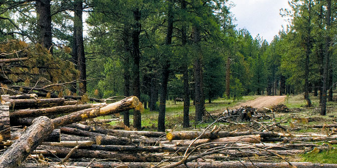 More than 40,000 cubic feet of wood has been harvested within a restoration area in the Cibola National Forest. New Mexico Wildlife magazine, NMDGF.