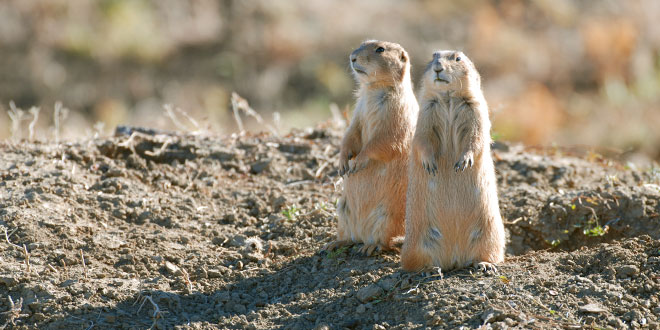 Prairie dogs critical to many species. New Mexico Department of Game and Fish photo by Clint Henson, New Mexico Wildlife magazine, NMDGF.