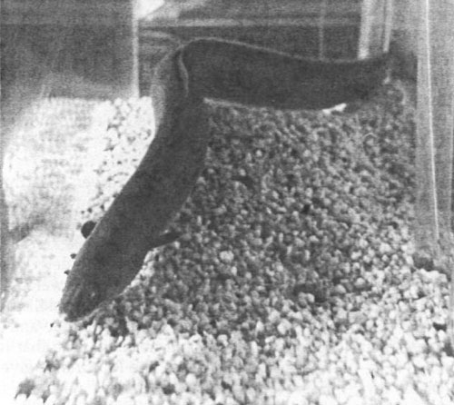 Reservoirs on the rivers doomed the American eel to extinction. Photo: NMDGF. New Mexico Wildlife magazine, Vol-49, Num-3 Fall 2004. (Making Tracks: A Century of Wildlife Management. (History of the New Mexico Department of Game and Fish).