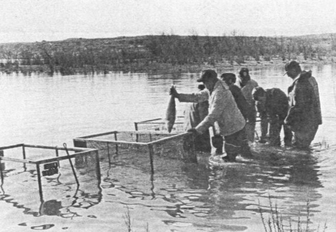 Walleye aren't adapted to New Mexico's reservoirs and therefore need help spawning. Photo: NMDGF. New Mexico Wildlife Mmagazine, Vol-49, Num-3 Fall 2004. (Making Tracks: A Century of Wildlife Management. (History of the New Mexico Department of Game and Fish).