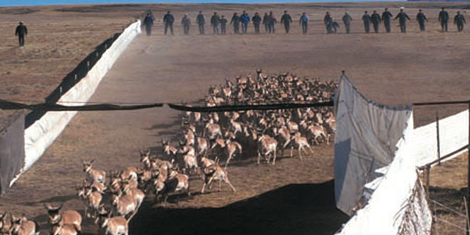The New Mexico Department of Game and Fish was the first state agency In the nation to use wing traps to capture large numbers of antelope. Photo: Don MacCarter. New Mexico Wildlife magazine, Vol-50, Num-3 Spring 2005. (Making Tracks: A Century of Wildlife Management. (History of the New Mexico Department of Game and Fish).