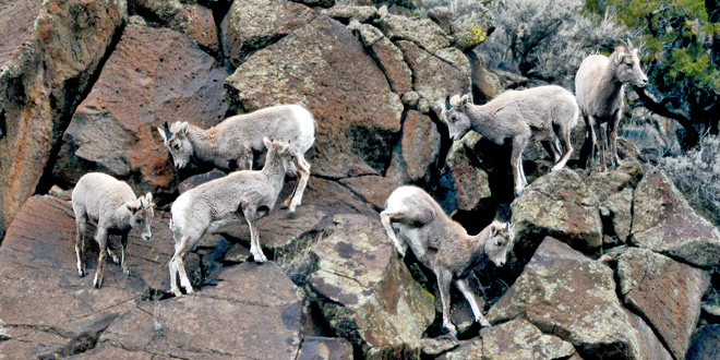magazine-fall-winter-2016-vol59num3-areas-northeast-new-mexico-bighorn-sheep-rio-grande-gorge-lambs