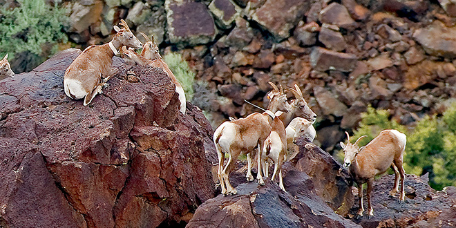 ith exceptional vision and climbing ability, steep rocky terrain is the ideal habitat for Rocky Mountain bighorn sheep. Since being introduced into the Rio Grande Gorge, bighorn sheep have adapted well and their population has grown from 48 to about 280. Photo by Dan Williams, New Mexico Wildlife magazine, NMDGF.