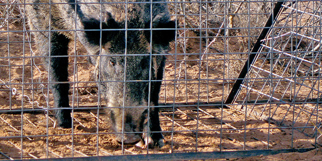 Feral hogs destroy wildlife habitat. Laws now exist that prohibit the importation of feral hogs and the U.S. Department of Agriculture's Wildlife Services is in the midst of a five-year project to lethally remove the animals from New Mexico. The effort will end in September 2017, but additional funding has been requested. Photo courtesy Wildlife Services.