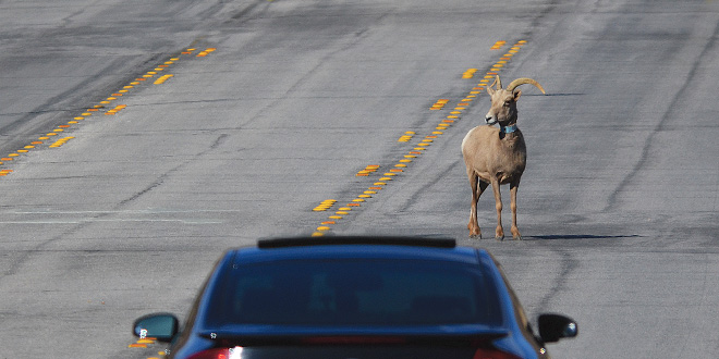 Wildlife in the roadways can be dangerous for those in a vehicle as well as the animal. Even smaller animals, such as cottontails and jackrabbits, can prove to be hazardous as motorists break or swerve in an effort to avoid a collision. Photo by Zen Mocarski, New Mexico Wildlife magazine, NMDGF