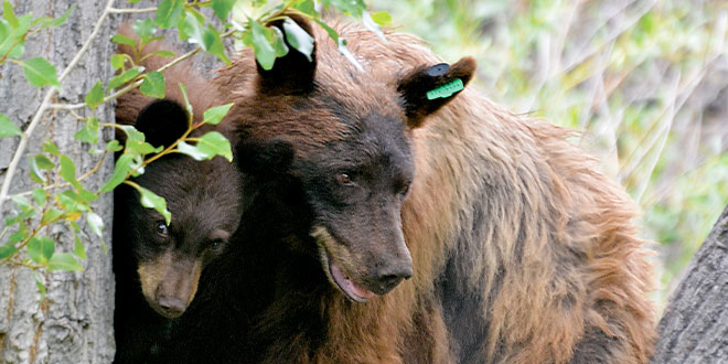 Determining an accurate minimum population of bears has been difficult, but understanding bear behavior and using modern technology make it possible. Photo by Dan Williams, New Mexico Wildlife magazine, NMDGF