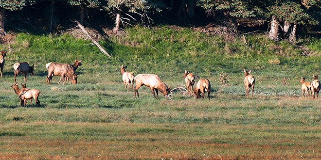 Strong precipitation in the winter of 2014 and a good monsoon season last year helped produce an abundance of forage, which has been beneficial to the elk population and the overall health of herds around New Mexico. Photo by Dan Williams, New Mexico Wildlife magazine, NMDGF.