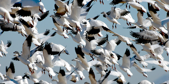 Habitat and birds suffer as light geese numbers rise. Photo by Dan Williams, New Mexico Wildlife magazine, NMDGF