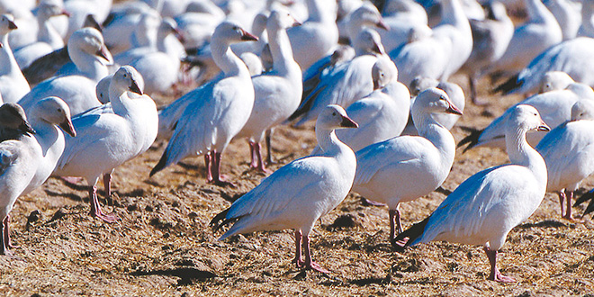 Above: Once imperiled, snow geese are now at population levels never before recorded. The numbers are so high, biologists believe as the birds destroy habitat, they are impacting other wildlife. Photos by Dan Williams, New Mexico Wildlife magazine, NMDGF