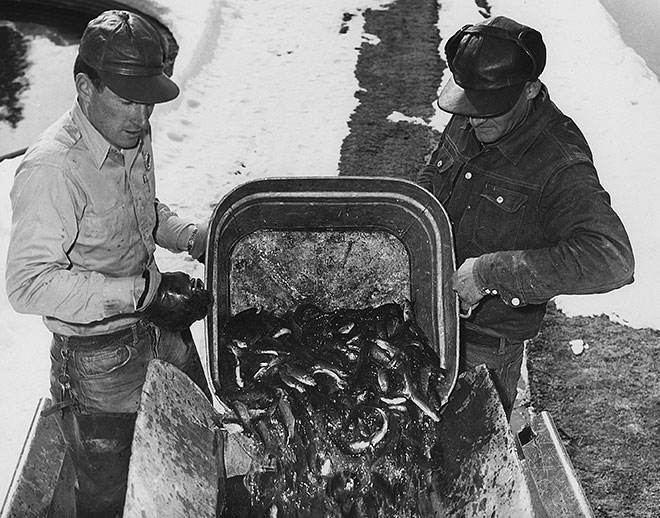 Loading cutthroat trout into delivery truck at Seven Springs Hatchery. Photo: NMDGF. New Mexico Wildlife Magazine, Vol-49, Num-2 Summer 2004. (Making Tracks: A Century of Wildlife Management. (History of the New Mexico Department of Game and Fish).
