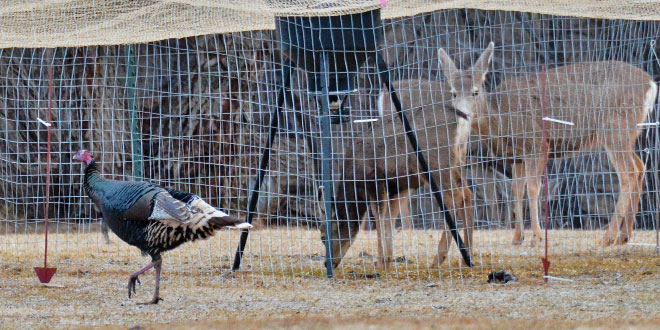 New Mexico Department of Game and Fish personnel set up a number of turkey traps in Raton hoping to capture about 40 that would be moved to the Lincoln National Forest. It became evident the first morning that reaching that number would be difficult with deer continually getting inside the trap. NMDGF photo by Zen Mocarski, New Mexico Wildlife magazine Spring 2017 Vol60, Num1, New Mexico Department of Game and Fish.