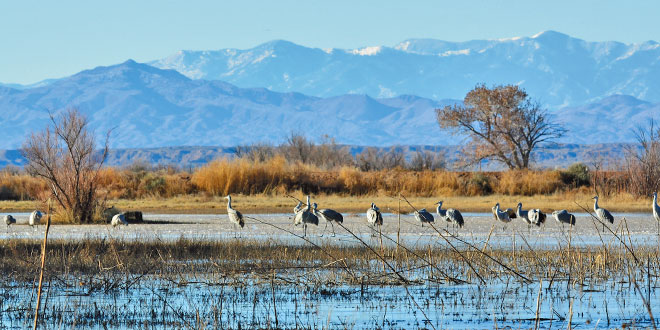 It is easy to get caught up in the moment watching sandhill cranes standing on a frozen pond at the Bernardo Wildlife Management Area with a picturesque mountain background. NMDGF photo by Zen Mocarski, New Mexico Wildlife magazine Spring 2017 Vol60, Num1, New Mexico Department of Game and Fish.