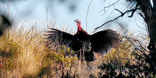 New Mexico is home to Merriam's, Rio Grande and Gould's turkeys. The Gould's, the largest of the three birds, was first documented in the state in 1892. Photo by Chuck Schultz, New Mexico Wildlife magazine Spring 2017 Vol60, Num1, New Mexico Department of Game and Fish.