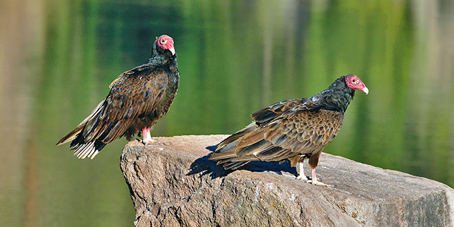 A pair of turkey vultures rest on a rock at Lake Roberts. With a wingspan of 5 to 6 feet, they are the second-largest bird species in New Mexico, next to eagles. NMDGF photo by Dan Williams, New Mexico Wildlife magazine Spring 2017 Vol60, Num1, New Mexico Department of Game and Fish.