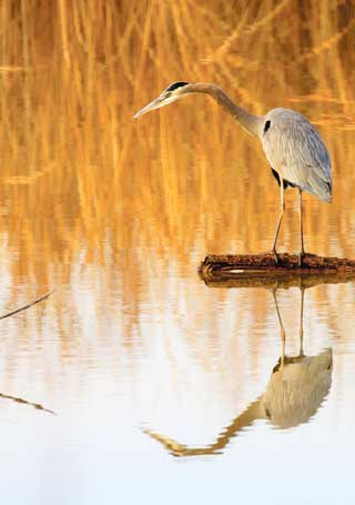 Great blue heron hunting for fish at Bosque del Apache NWR. This species can be found at the refuge year-round. Photos by Mark Watson. New Mexico Wildlife magazine Winter 2018 Vol61, Num1, New Mexico Department of Game and Fish.