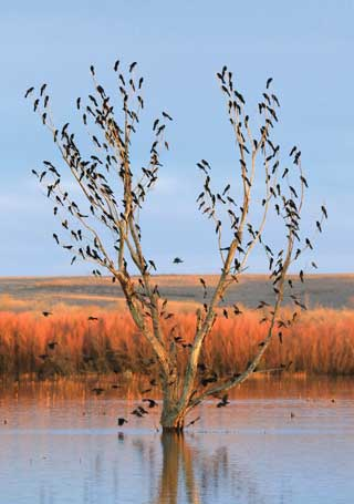 Great-tailed grackles flocking at sunset. Photos by Mark Watson. New Mexico Wildlife magazine Winter 2018 Vol61, Num1, New Mexico Department of Game and Fish.