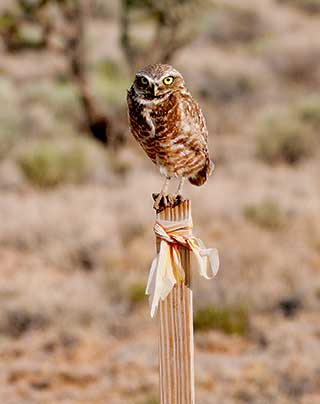 """The burrowing owl was nicknamed the """"howdy bird"""" because it seemed to be greeting people by bobbing its head up and down. Although it appeared to be a welcoming gesture, it is actually an act associated with agitation. Department photos by Dan Williams.New Mexico Wildlife magazine Winter 2018 Vol61, Num1, New Mexico Department of Game and Fish."""