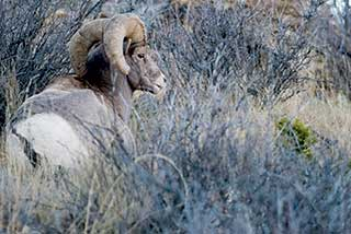 Rocky Mountain bighorn. Photo by Martin Perea, New Mexico Wildlife magazine Winter 2018 Vol61, Num1, New Mexico Department of Game and Fish.