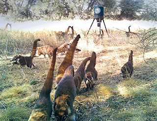 Coatis feeding at a Gould's turkey baiting station along the Geronimo Trail in the Peloncillo Mountains, Coronado National Forest. Department photo by Casey Cardinal, New Mexico Wildlife magazine Winter 2018 Vol61, Num1, New Mexico Department of Game and Fish.