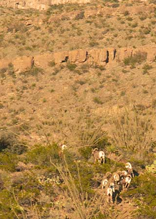 Bighorn take their first steps into the Sacramento Mountains. New Mexico Department of Game and Fish web exclusive.