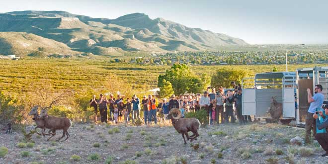 Desert bighorn, gathered at the White Sands Missile Range are released from a trailer into the Sacramento Mountains in Alamogordo. New Mexico Department of Game and Fish