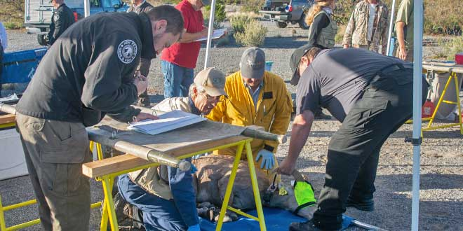 Dr. Kerry Mower, wildlife health specialist with the New Mexico Department of Game and Fish, assesses the health of a captured bighorn