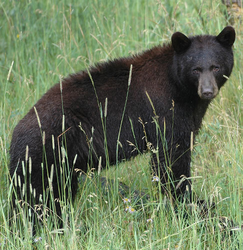 Q&A: Living with bears. Department photo by Dan Williams. (New Mexico Wildlife Magazine, Department of Game and Fish)