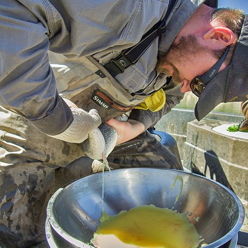 Mike Ruhl, native fish program manager, squeezes walleye eggs into a bowl. The eggs are then fertilized and transported to Rock Lake State Fish Hatchery. (New Mexico Wildlife Magainze, Department of Gamen and Fish)