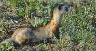 Black-footed ferret;Department photos by Jim Stuart.