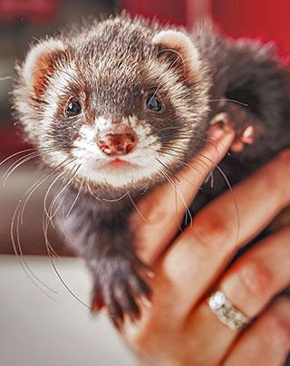 European ferret.