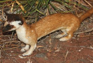 ) Long-tailed weasel. Department photos by Jim Stuart.