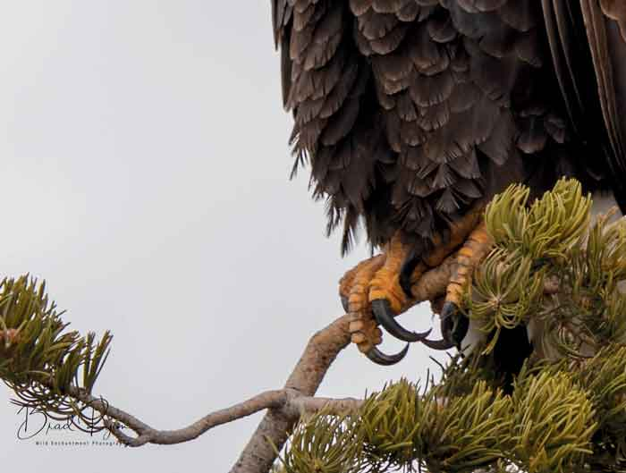 Close-up of talons. Brad Ryan Wild Enchantment Photography