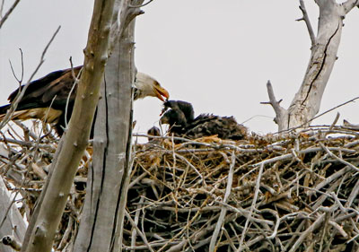 Feeding time at the nest. Brad Ryan Wild Enchantment Photography